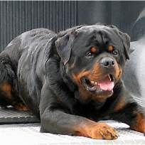 Pin By Saundra K On Dogs Dogs Dog Breeds Rottweiler Lovers