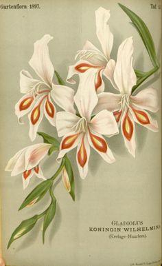Gladiolus hort. - circa 1897