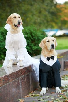 Only dress up the dog if the dog is cool with it. Photo: Two Golden Retriever dogs by Shutterstock Dogs Golden Retriever, Retriever Puppy, Golden Retriever Wedding, Golden Retrievers, Pet Friendly Weddings, Animals And Pets, Cute Animals, Dog Tuxedo, Photos With Dog