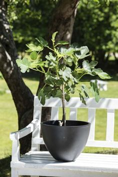 Fikentre i stilig sort Cosapot. Rain Chains, Garden Planters, Potted Plants, Patio, Pot Plants, Flower Planters, Garden Container, Container Plants, Container Garden