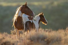 A beautiful tobiano mare and her lookalike colt, pause in the sage as the sun rises near the Dry Creek Pasture at McCullough Peaks, Herd Management Area.
