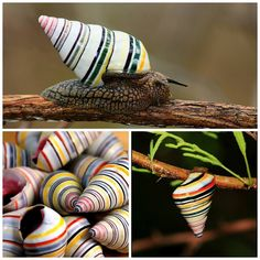 ScienceAlert's photo.  This is the colourful candy-striped land snail (Liguus virgineus), and it's only found on Haiti, Dominican Republic and Cuba. For years its colourful shell made a popular souvenir for travellers visiting these Caribbean islands, but now a law forbids people from harvesting the shells and selling them.