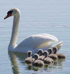 White swan and babies