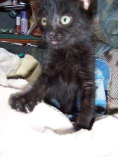 Nexus...our precious black cat as a kitten. For those who are superstitious about black cats...it is all a myth. They are wonderful and precious fur-babies.