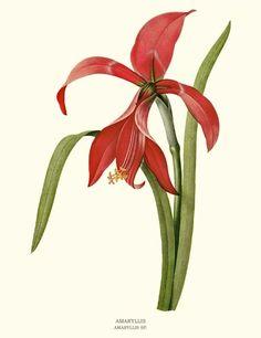 Amaryllis botanical illustration by Pierre-Joseph Redoute - via Charting Nature http://www.chartingnature.com/flower-print.cfm/Amaryllis-botanical-art-print/6717  #redoute #botanicalart #vintageart #flowerart  #flowerprint #floralprint #floralprint