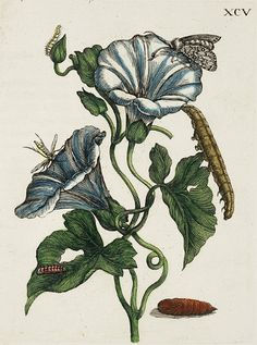 Maria Sibylla Merian Botanical Line detail. Art And Illustration, Floral Illustrations, Botanical Drawings, Botanical Prints, Azulejos Art Nouveau, Sibylla Merian, Biology Art, Illustration Botanique, Henna Body Art