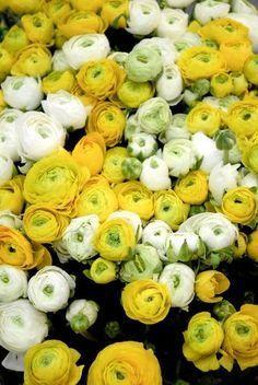 Renoncule: planter et cultiver des renoncules Love Flowers, Beautiful Flowers, Wedding Flowers, Bouquet Champetre, Backyard Paradise, Shrubs, Flower Power, Bloom, Spring
