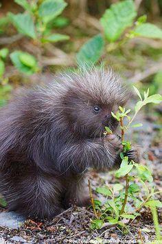 A baby porcupine, near Seward, Alaska.