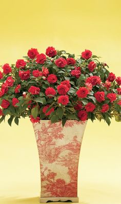 A beautiful container and masses of rose-like blooms will add pizzazz to the darker corners of your porch or deck. Easy to grow.