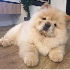 14 Lovely Pictures Of Chow Chows To Make You Fall In Love With Them & Page 2 of 3 & PetPress Chow Chow Puppies Source& The post Chow Chow Puppies appeared first on Gwen Howarth Dogs. Cute Dogs Breeds, Cute Dogs And Puppies, Baby Dogs, Dog Breeds, Doggies, Cute Fluffy Puppies, Fluffy Pets, Puppies Puppies, Bulldog Puppies