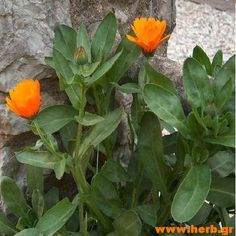 Η ΛΙΣΤΑ ΜΟΥ: Βότανα και ουλίτιδα! Simple Minds, Calendula, Agriculture, Remedies, Health Fitness, Plants, Gardening, Gym, Dreams