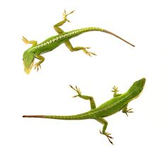 How lizards regenerate their tails: researchers discover genetic 'recipe' |via ASU News