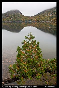 Sapling growing out of branch and hills, Jordan Pond. Acadia National Park (color)