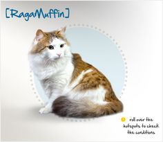The RagaMuffin is a muscular, heavy breed of cat, averaging between 10 and 20 lbs., with a medium-length coat that can come in all colors and patterns, with or without white. Although her coat is thick and plush, it does not readily mat or clump, and is easy to care for. Similar to her Ragdoll cousins, the RagaMuffin is cuddly and affectionate, with a dog-like tendency to greet family members at the front door and follow them around the house.