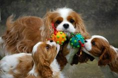 Adorable puppies / Cavalier King Charles Spaniel