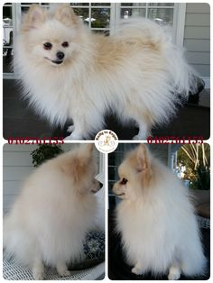 Tinny, Pomeranian, 3 years young. Tidy Up Service. Website: https://rattytoregal.wixsite.com/rattytoregal Facebook: https://www.facebook.com/rattytoregal/