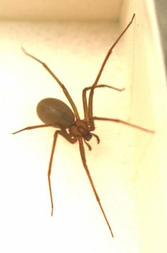 a3c58f6857 of The World s Most Poisonous Spiders-Brown Recluse Spider Brown Recluse  Spider