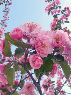 pink blossoms by Heidi-V-Art