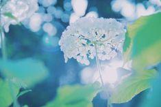 "simopx:  "" .  .  .  はなさいさい  .  .  .  #flower #flowers #花 #紫陽花 #あじさい #hydrangea #木漏れ日 #sky #空 #sun #nature #naturelovers #ic_flowers #ig_japan #ig_nippon #love_natura #love_nature #lovenature #instagood #contestgram #landscape #japan #igers #igersjp #RECO_ig..."