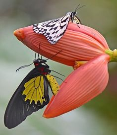 Types of Butterflies - Butterflies are one of the most adored insects for their enchanted beauty and representation of good luck and positive change. Beautiful Bugs, Beautiful Butterflies, Amazing Nature, Beautiful World, Simply Beautiful, Butterfly Kisses, Butterfly Flowers, Butterfly Quotes, Butterfly Painting