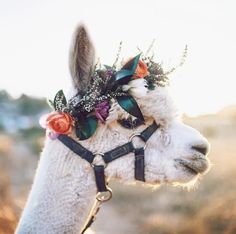 Llamas are a member of the camelid family, which includes camels, alpacas, vicunas, and guanacos. Alpacas, Farm Animals, Animals And Pets, Funny Animals, Cute Animals, Cute Creatures, Beautiful Creatures, Animals Beautiful, Hello Beautiful
