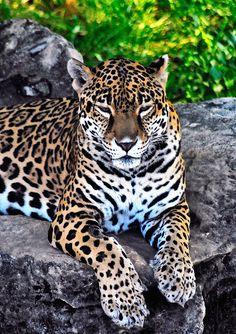 Finally, a lil R&R                                                               - Amur leopard