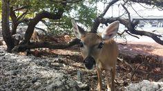 Big pine deer