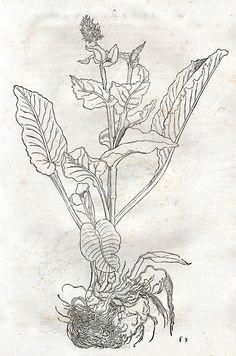 Aronstab | F II 497: Otto Brunfels, Herbarum vivae eicones, 1530