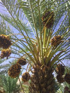 Morocco has extremely sweet dates. The best ones are from the Draa Valley  www.your-morocco-tour.com