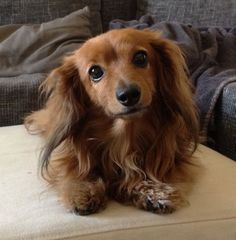 """Figure out additional info on """"dachshund dogs"""". Take a look at our internet site. Cute Dogs And Puppies, Baby Dogs, Pet Dogs, Doggies, Dapple Dachshund, Dachshund Love, Daschund, Dachshund Facts, Weenie Dogs"""