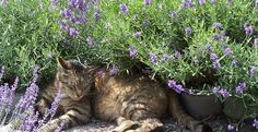 Cat at lavender fields