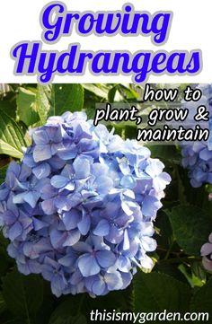 Hydrangea Bloom, Hydrangea Care, Hydrangea Not Blooming, Hydrangea Flower, Hydrangea Potted, When To Plant Hydrangeas, Pruning Hydrangeas, Hydrangea Landscaping, Landscaping Ideas