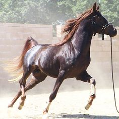 The Ebony Sun Crabbet Egyptian Arabian Stallion | Belle Cheval
