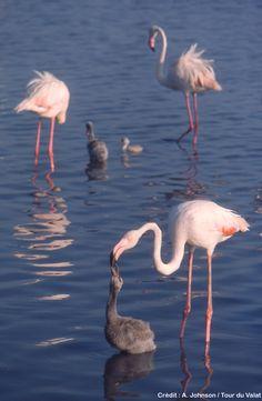 Flamingos and babies Pretty Birds, Beautiful Birds, Animals Beautiful, Cute Animals, All Birds, Little Birds, Love Birds, Flamingo Art, Pink Flamingos