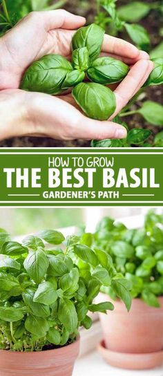 If you love aromatic herbs and you're excited to add a flavorful contender to your kitchen garden at home, look no further than fresh basil. We share our top tips for growing it in the garden, so you'll be well on your way to making delicious homemade pesto, spaghetti sauce, and more. Learn more now on Gardener's Path.
