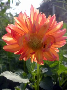 Dahlia with sun peeping through petals.