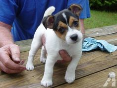 "bella jack | BELLA"" Jack Russell puppy female for sale in Finley, Missouri"