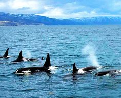 A pod of killer whales swims in waters off Rausu, Hokkaido, on May 9. (Kotaro Ebara)
