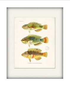 Fish Natural History Art Print  Plate VI Wall by vintagebytheshore, $14.00