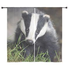 Two areas in Gloucestershire and Somerset will pilot a badger cull in the autumn in a bid to tackle tuberculosis in cattle Wombat, Nocturnal Animals, Cute Animals, Wild Animals, Animals Images, Baby Animals, Crime, Animal Welfare, Animal Rights