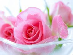 Beautiful Roses | One HD Wallpaper Pictures Backgrounds FREE Download