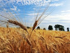 Getreidefeld ... #grain #getreidefeld #wein4tel Felder, Herbs, Plants, Scary Stories, Wine, Landscape, Herb, Plant, Planets