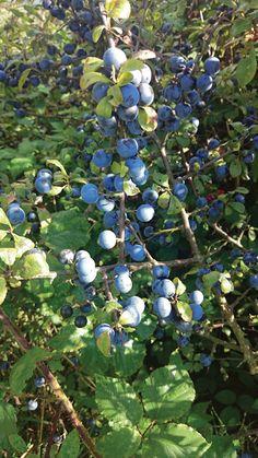 Geleide Sleedoornwandeling Fruit, The Fruit