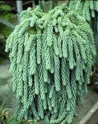 Full size picture of Burro's Tail, Donkey's Tail