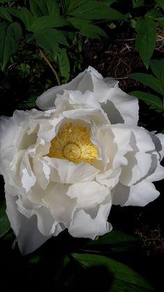 Vit buskpion Crown, Garden, Plants, Jewelry, Corona, Garten, Jewlery, Jewerly, Lawn And Garden