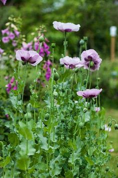 I love the purple poppies and the foxglove