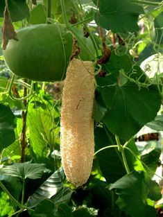 Wonder where loofah sponges come from? Loofah or Luffa is the common name for a climbing plant of the cucumber family and for the sponge derived from the fruit. I am growing some of these...