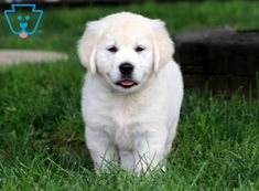 This precious English Cream Golden Retriever puppy is as cute as a button. This puppy comes with Baby Puppies For Sale, Dogs And Puppies, Doggies, Retriever Puppy, Labrador Retrievers, Cute Dogs, Cute Babies, Puppy Love, Pugs