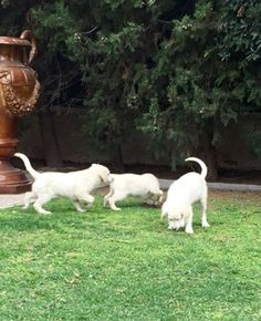 Camada de Cachorros de Golden Retriever - Kowalski