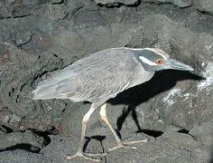 Galapagos Islands Birds   This is the only endemic heron of the Galapagos. Lava Herons are small ...
